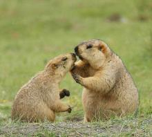 Максимальный вес байбака. Степной сурок (байбак) (Marmota bobak). История жизни в зоопарке