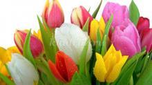 История появления тюльпанов. Тюльпан: легенды, поверья, рассказы для детей и история цветка!! Рассказ о тюльпане: легенды и поверья — завоевание Европы