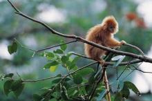 Обезьянка карликовая игрунка. Самая маленькая обезьянка в мире. Описание мармозетки. Где живут маленькие обезьянки
