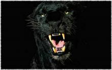 Кто такая пантера. Чёрная пантера. Ареал, места обитания пантер