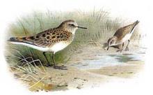 Описание птиц и зверей нашего края, места обитания и повадки, белохвостый песочник и другие