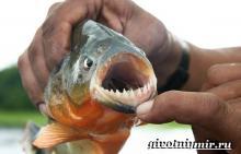 Крупномасштабная пиранья. Пиранья рыба. Образ жизни и среда обитания рыбы пираньи. Виды пираний, наименования и фото