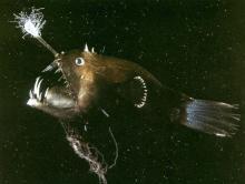 Плоская добыча удильщика сканворд 7 букв. Особенности рыбы-удильщика, либо так ли ужасен морской черт? Ареал особенно распространенных видов
