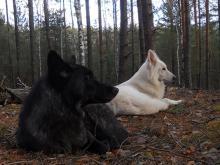 Чем питается волк в природе. Чем питается волк: среда обитания, питание, выведение потомства. Чем питаются красные волки