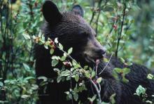 Бурый медведь зимой впадает в спячку. Для чего медведи впадают в спячку. Для чего в спячке сосать лапу: увлекательные версии