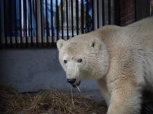 Медведи в зоопарке. Откуда берутся белые медведи в зоопарках? Сколько живут медведи