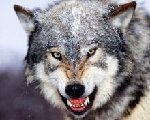 Средняя длительность жизни волка в природе.  Серый волк фото, изложение, среда обитания, размножение. Видео: Серый волк