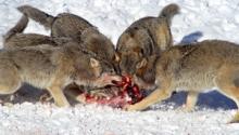 Как могут быть волки. Жизнь волка в дикой природе. Размножение и выращивание потомства