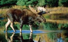 Сколько весит лось. Главный зверь страны. Как выглядит лось