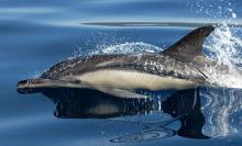 Какой размер тела у дельфина. Обычный дельфин, либо дельфин белобочка (Delphinus delphis)Eng. Short-Beaked Common Dolphin. Дельфины могут быть длиной от метра до десяти