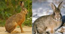 В чем различие кролика от зайца. Что всеобщего и чем отличается кролик от зайца. Сравнение нрава и поведения