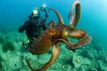 50 увлекательных фактов об осьминогах. Спрут либо осьминог - изложение и сколько живут эти звериные На какой глубине живут осьминоги
