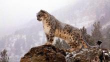 Увлекательные факты о снежных барсах. «Снежный Барс России» - новое почетное звание в русском альпинизме Размножение снежного барса