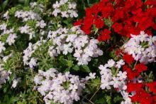 Как выглядит весна в крыму. Крымские первоцветы, либо Весна, красота и любовь! Кустарник с желтыми цветами крым