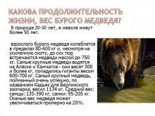 Информационный план бурый медведь. Презентация бурые медведи показ презентация про звериное медведь