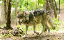 Волк что за зверь и чем питается. История от читательницы СН может ли волк съесть волка