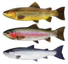 Рыба семейства лососевых - Кумжа, мнения и комментарии