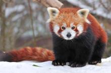 Красная панда: фото малой панды. Малые панды в неволе