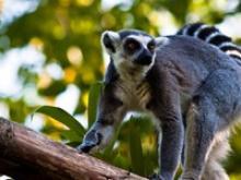 Уникальные животные острова Мадагаскар. Образ жизни и питание индри и лимуров